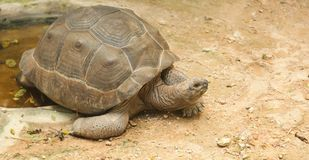 African spurred tortoise sulcata tortoise inhabits the southern edge of the Sahara desert, in Africa. As a pet, they require lar. Ge enclosures, bedding composed stock photography