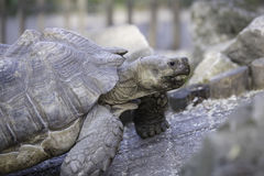 African spurred tortoise. African spurred toirtoise, close up head Stock Image