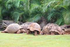 African Spurred Tortoise. S are on the grass Stock Photos