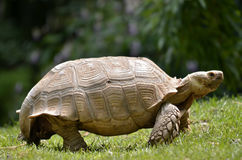 African spurred tortoise walking on grass Stock Photos