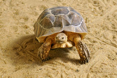 African Spurred Tortoise walking on sand Stock Photos