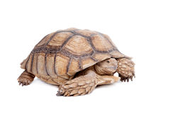 African Spurred Tortoise on white. African Spurred Tortoise, Geochelone sulcata, on white background Stock Photo
