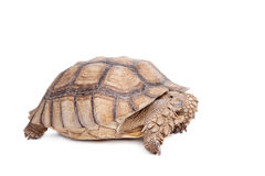 African Spurred Tortoise on white. African Spurred Tortoise, Geochelone sulcata, on white background Stock Image