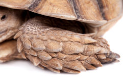African Spurred Tortoise on white. African Spurred Tortoise, Geochelone sulcata, on white background Royalty Free Stock Photo