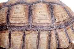 African Spurred Tortoise on white. African Spurred Tortoise, Geochelone sulcata, on white background Stock Photos