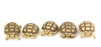 African Spurred Tortoises (Geochelone sulcata) Royalty Free Stock Images