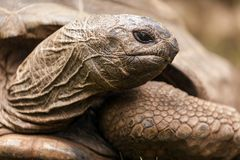 African spurred turtle Stock Photography