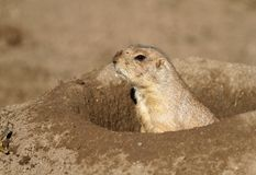 African squirrel in hole Royalty Free Stock Images