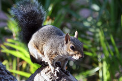 African squirrel is looking at the camera, Royalty Free Stock Photography