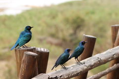 African starling birds stock image