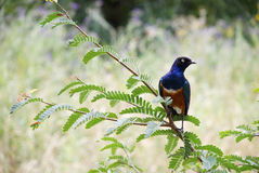 African Starling on a branch. African colourful starling bird sitting on a branch of a bush in Africa Tanzania Royalty Free Stock Photo