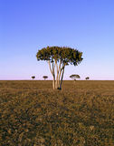 African Step Tree. In barren landscape royalty free stock images