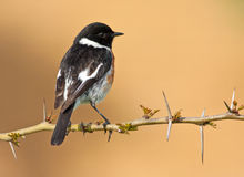 African Stonechat Royalty Free Stock Photography