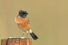 African Stonechat. Sitting on pole Royalty Free Stock Image