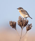 African Stonechat on dried flowers Royalty Free Stock Photos