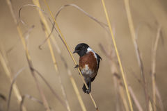 African Stonechat Stock Photography