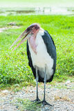 African stork bird marabou portrait Royalty Free Stock Image