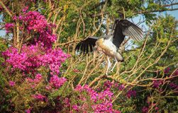 African stork Marabou spread his wings royalty free stock photography