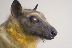 African straw-colored fruit bat Stock Photo
