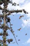 African straw-colored fruit bats Royalty Free Stock Images