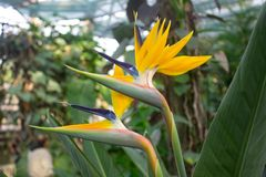 African strelitzia, bird of paradise. African strelitzia, tropical flower, bird of paradise in the garden Royalty Free Stock Photos