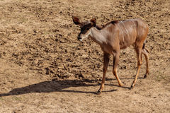 African Striped Deer Stock Image