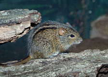 The African Striped Grass Mouse Stock Photography