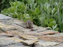 African striped grass mouse eating a raspberry on a rock wall at Cape Point. Royalty Free Stock Image