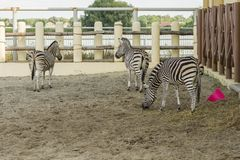 African striped zebras in the zoo royalty free stock images