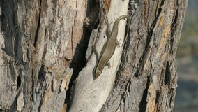 African stripped skink lizard found in Botswana. African stripped skink lizard found on a tree in Botswana. Latin name:Trachylepis striata royalty free stock photography