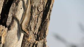 African stripped skink lizard found in Botswana. African stripped skink lizard found on a tree in wana. Latin name:Trachylepis striata royalty free stock photos