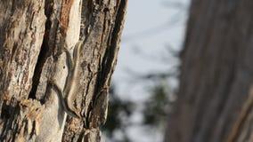 African stripped skink lizard found in Botswana. African stripped skink lizard found on a tree in wana. Latin name:Trachylepis striata stock photos