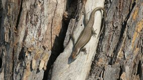 African stripped skink lizard found in Botswana. African stripped skink lizard found on a tree in wana. Latin name:Trachylepis striata stock photography
