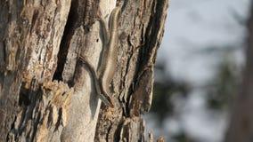 African stripped skink lizard found in Botswana. African stripped skink lizard found on a tree in wana. Latin name:Trachylepis striata stock image