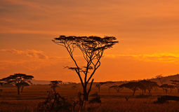 African sunset. In the Serengeti National Park, Tanzania Royalty Free Stock Image