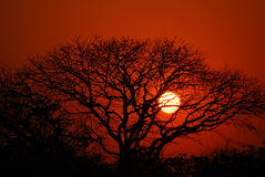 African sunset 2. African sun going down behind a tree Stock Photography