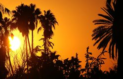 African sunset. Sunset with exotic tree silhouettes Stock Image