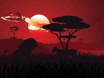 African Sunset with Lion Stock Image