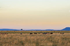 African sunset in the Masai Mara Royalty Free Stock Photography