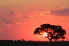 African Sunset - Observing the burning planet from afar. Sunset over the African plains with a Camelthorn tree in the foreground. Photo taken on a game ranch in royalty free stock photography