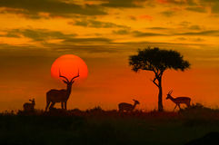 African sunset with silhouette. Of the animals Stock Images