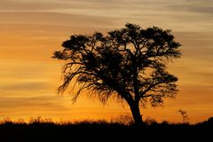 African sunset with silhouetted tree. Sunset with silhouetted African Acacia tree, Kalahari desert, South Africa Royalty Free Stock Photo