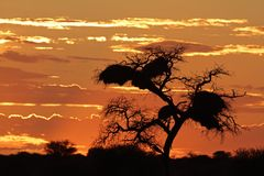 African sunset with silhouetted tree Royalty Free Stock Images