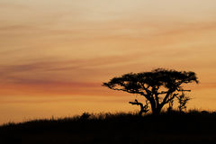 African Sunset, South Africa. A silhouette of a tree in South Africa stock images