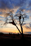 African sunset with tree in front Stock Photography