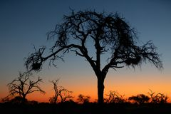 African sunset with tree in front royalty free stock image