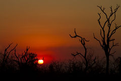 African sunset tree silhouette Royalty Free Stock Image