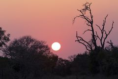 African sunset with a tree silhouette and large orange sun. African sunset with a tree silhouette and the large orange sun Stock Photo