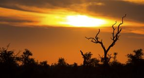 African sunset with a tree silhouette and large orange sun. African sunset with a tree silhouette and the large orange sun Stock Image