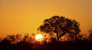 African sunset with a tree silhouette and large orange sun. African sunset with a tree silhouette and the large orange sun Royalty Free Stock Image